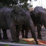 Bioparco di Roma (zoo): elefanter