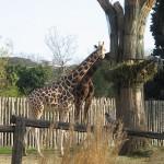 Bioparco di Roma (zoo): giraffer