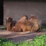 Bioparco di Roma (zoo): kamel