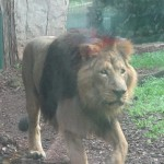 Bioparco di Roma (zoo): lejon