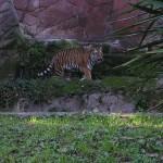 Bioparco di Roma (zoo): tiger